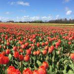 Парад цветов Bloemencorso Bollenstreek в 2020 году, Амстердам on Air