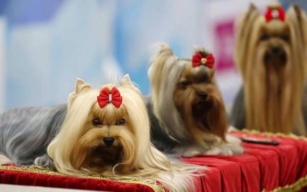 World Dog Show 2020 (Чемпионат мира собак), где пройдет, всемирная выставка