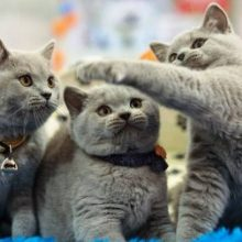 Выставки кошек в России в 2020 году: расписание