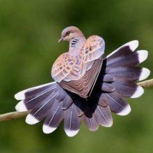Птица года — 2020: горлица обыкновенная